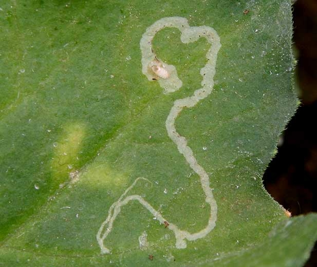Biocontrol - La mineuse des agrumes ...