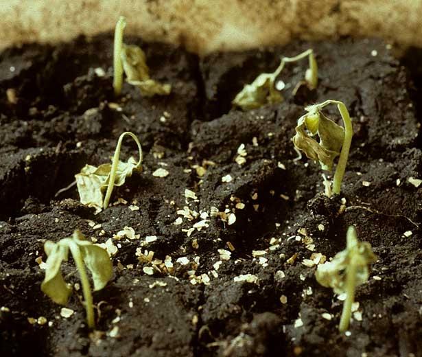 De nombreuses plantules de melon ont flétri soudainement et se dessèchent progressivement. Seule la partie basse des jeunes tiges est encore turgescente <b><i>Pythium </i>sp.</b> (fonte de semis)