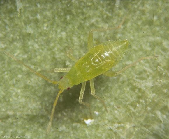 <i>Macrolophus caliginosus</i>