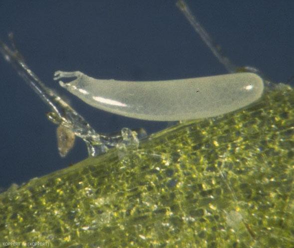 Oeuf de <i>Macrolophus pygméus</i> excisé du tissus végétal où il avait été pondu.