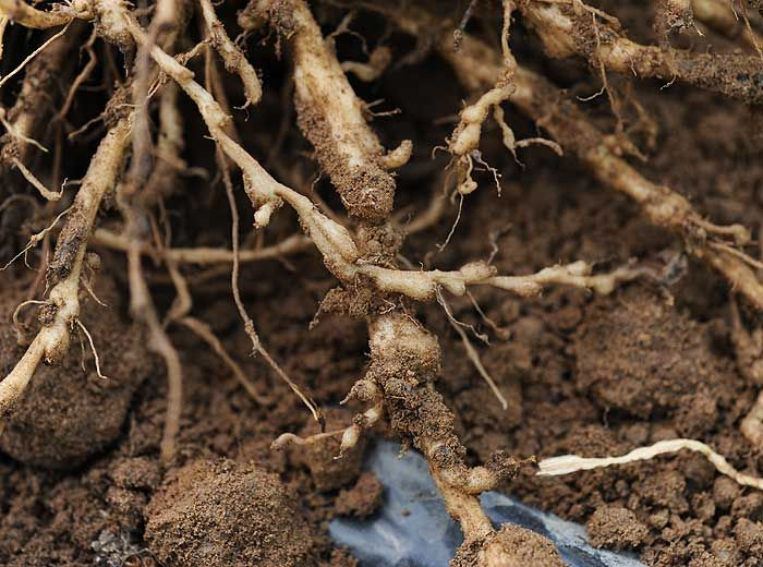 Bioagresseurs du sol