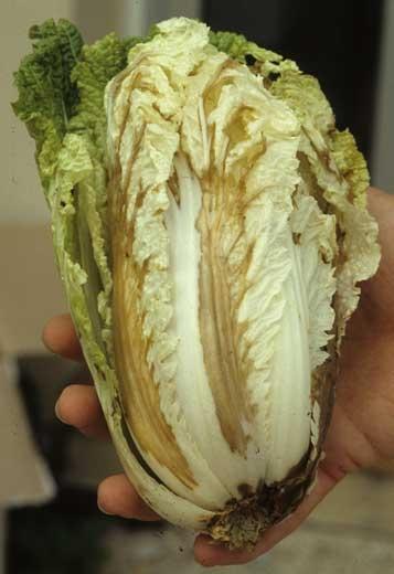 Lésions humides et brunes touchant la nervure principale et gagnant les nervures secondaires et le limbe de quelques feuilles. <b><i>Pseudomonas cichorii</i></b> (bacterial leaf spot)