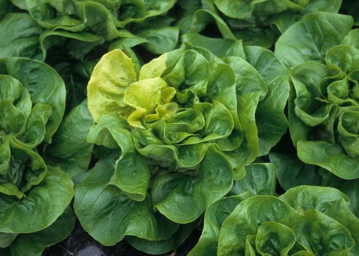 Salades for Eleagnus maladie feuilles jaunes
