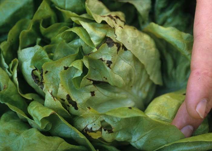 Petites taches humides et brunes affectant la bordure de plusieurs feuilles de laitue. <b><i>Pseudomonas</i> sp.</b>