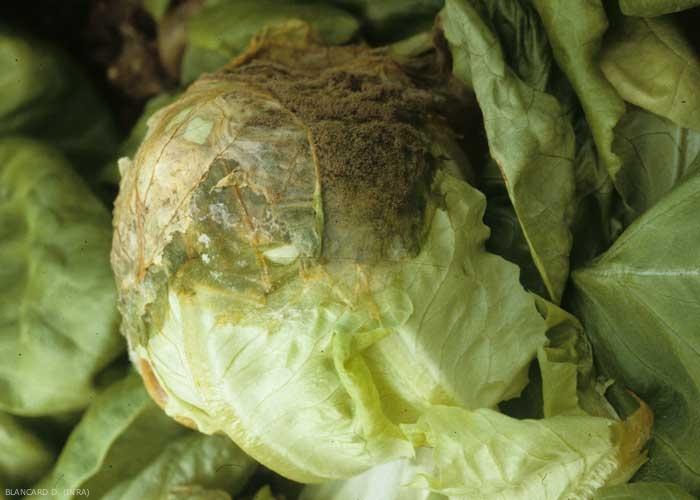 Pourriture humide envahissant la pomme d'une laitue ; une moisissure grise la recouvre partiellement. <b><i>Botrytis cinerea</i></b> (grey mold)