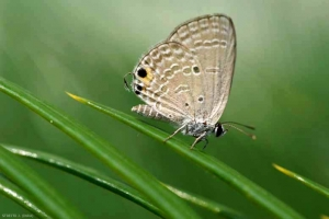 JCS76_Chilades_pandava_04