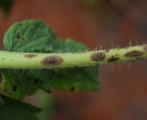 Détail de plusieurs lésions brunes et elliptiques formées sur un pétiole de tomate. <i>Corynespora cassiicola</i> (corynesporiose)
