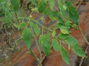 Plusieurs petites taches brunes  et nécrotiques recouvrent partiellement ces folioles de tomate entraînant localement leur jaunissement. <i>Corynespora cassiicola</i> (corynesporiose)