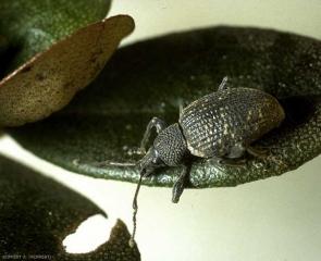 Otiorhyncus-sulcatus1
