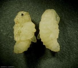 Otiorhyncus-sulcatus2