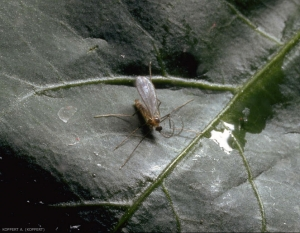 Aphidoletes-aphidimyza2
