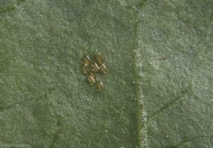 Aphidoletes-aphidimyza5