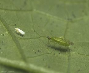 Adulte de <i>Macrolophus pygmaeus</i> en action, se préparant à attaquer un aleurode.