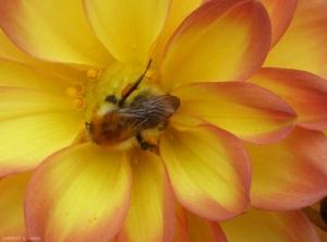bourdon-pollen