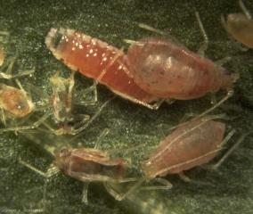 Aphidoletes-aphidimyza7