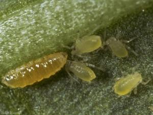 Aphidoletes_aphidimyza9