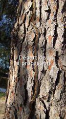 PP_chenille_procession_arbre