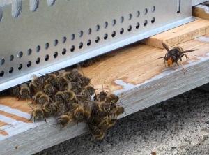 Frelon-abeille