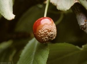 Moniliose-cerisier2