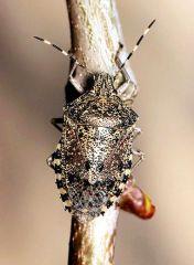 20_Rhaphigaster_nebulosa_Derreumaux