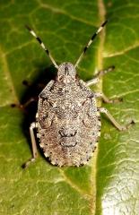 24_Rhaphigaster_nebulosa_Derreumaux