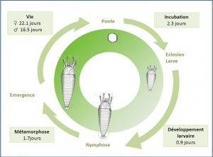 cycle_aculops_lycopersici