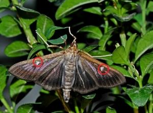 Papillon PB 4bis