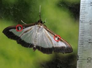 Papillon PB 5bis