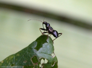 himacerus mirmicoides