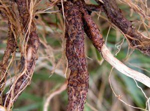 Rhizoctonia-crocorum1