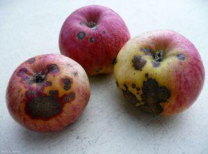 Pommier_Tavelure_fruit_Peti
