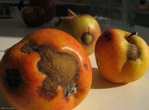Pommier_Tavelure_fruit1_Pet