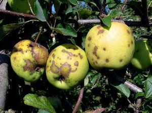 Pommier_tavelure-fruit1_Gir
