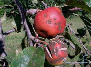Pommier_tavelure-fruit3_Gir