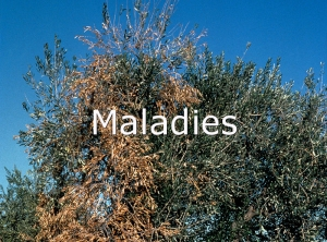 Guide eco fruits - Maladie de l olivier photo ...