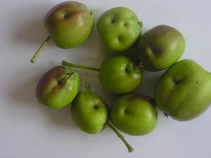 Punaise-Fruits-CCharles