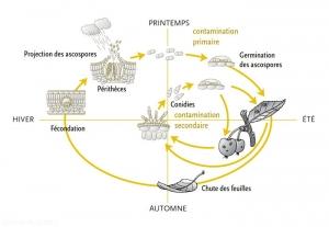 Cycle-Venturia-ineaqualis-(memPFI)