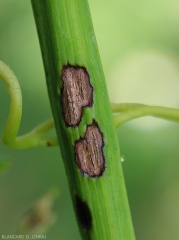 Anthracnose8