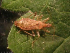 Himacerus-apterus