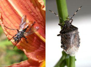 cylindromyia-rhaphigaster