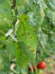 Passalora-Tomate10