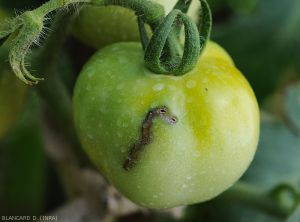 Mouche-fruits-tomate5