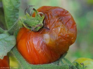 Mouche-fruits-tomate6