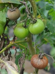 Aculops-Tomate4
