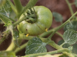 Ncyanescens-Tomate-3