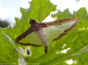 Papillon  la pyrale du melon (<i>Diaphania hyalinata</i>)