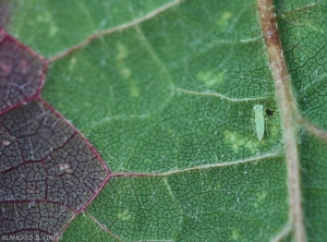 Cicadelle-Grillure4