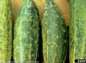 Cucumber mosaic virus concombre