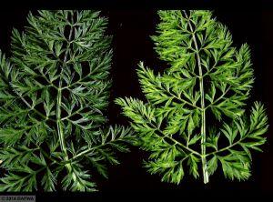 Carrot yellow leaf virus carotte