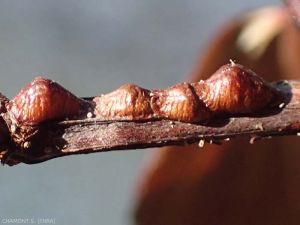 Partheno-persicae